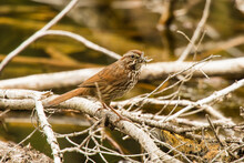 Close Up Of Song Sparrow Holdi...