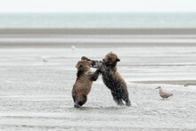 Grizzly Bear Cubs Playing In Water In Lake Clark National Park And Preserve