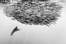Striped Marlin Hunting School ...