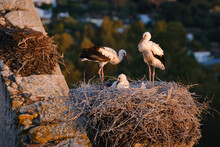 White Stork With Chicks In Nest