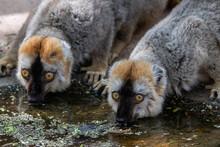 Brown Lemurs Drinking Water Fr...