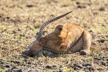 Lion Cub Feeding On Lechwe Carcass