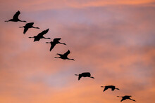 Silhouette Of Common Cranes Flying In Sky During Sunset