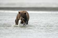 Female Grizzly Bear Catching Salmon While Walking In Sea