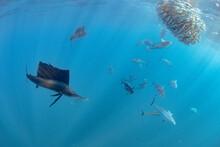 Sailfish And Bonito Hunting Sardines Undersea