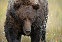 Close Up Of Wet Grizzly Bear W...