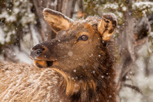 Portrait Of Elk Standing In Snowfall