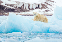 Polar Bear Resting On Iceberg ...