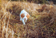 Brittany Spaniel Puppy Walking...