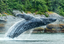 Humpback Whale Breaching In Water