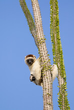 Verreaux's Sifaka With Infant Sitting On Branch Of Octopus Tree In Spiny Forest