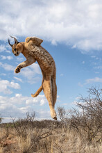 Caracal Jumping In Air Against Cloudy Sky