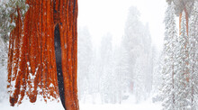 View Of Giant Sequoia Trees In...