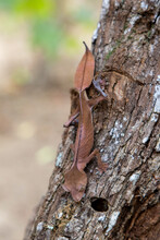 Close Up Of Satanic Leaf Tailed Gecko On Tree Trunk In Rainforest