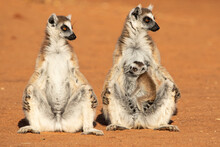 Ring Tailed Lemurs With Infant...