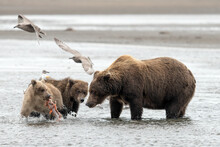 Female Grizzly Bear Watching C...