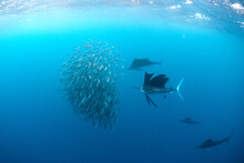 Sailfish Feeding On Sardines In Sea