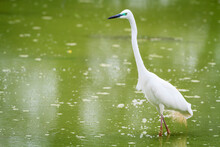 Great White Egret Standing In Water