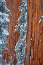 View Of Snow Covered Giant Sequoia Trees