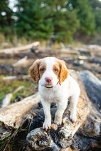 Portrait Of Brittany Puppy Standing On Log