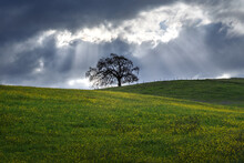 Lone Tree On Hill With Spring Flowers Against Cloudy Sky