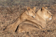 Lioness With Cub Relaxing On Grassy Landscape In Busanga Plains