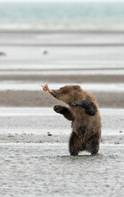 Grizzly Bear Cub Playing With Piece Of Salmon In Lake Clark National Park And Preserve