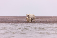 Polar Bear Standing With Her Cub