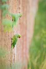 Rose Ringed Parakeets Perching On Wall
