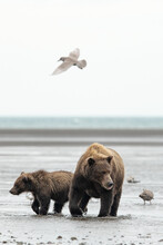 Grizzly Bear And Cub Looking For Salmon In Lake Clark National Park