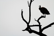 Silhouette Of Indian Peafowl Perching On Dead Tree