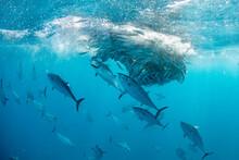 Sailfish And Bonitos Feeding O...