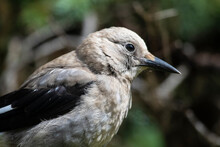 Close Up Of Clark's Nutcracker