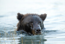 Close Up Of Grizzly Bear Swimming In Creek