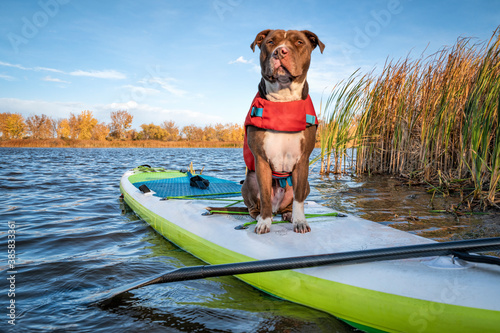 Pit bull terrier dog in a life jacket on an inflatable stand up paddleboard, fall  in northern Colorado, travel and vacation with your pet  concept