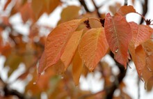 Detail Of Autumn Sakura Leaves In Red, Brown And Yellow Covered By Raindrops And Suitable As Seasonal Background. The Simple Shape Of Leaved Does Not Distract From The Colors.