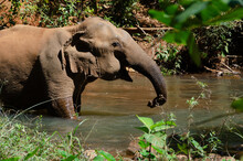 An Elephant Cooling Off In A Stream In Mondulkiri, Cambodia