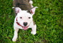 A Happy Young Pit Bull Terrier...