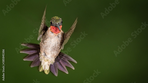 Naklejka premium Ruby Throated Hummingbird Hovering in the Green Forest