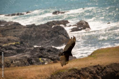 Fotomural black bird of prey flying along the rocky coastline of California