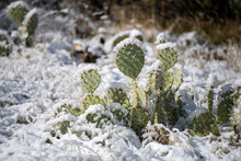 Snow Covered Prickly Pear Cactus