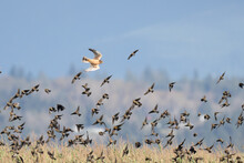 Northern Harrier Harries A Flo...