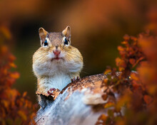 Closeup Of A Cute Chipmunk In ...
