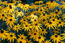 Black Eyed Susan- Yellow Flowers