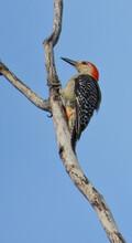 Red-Bellied Woodpecker Bird On...
