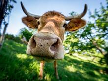 Gros Plan D'une Vache Dans Un Champs En Normandie