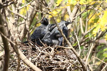 A House Crow And Its Chicks In...