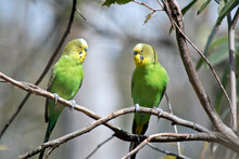 The Two Budgergars Or Parakeet...