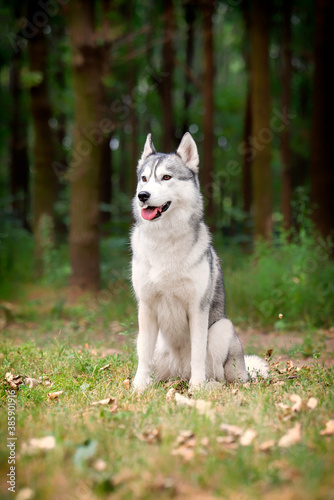 A young Siberian Husky female is sitting at the forest on the green grass with leaves. She has amber eyes, grey and white fur. A trail crossing the copse, and there are a lot of trees in background.