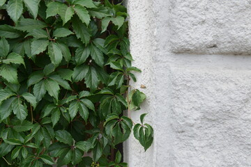 Green Creeper Plant on old building facade. Ivy wall background.